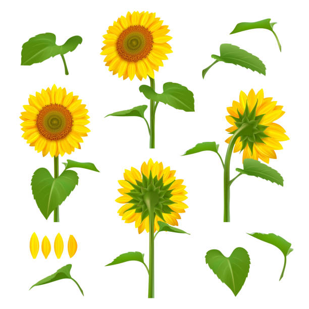 sunflowers illustrations. garden botanical yellow beauty sunflowers with seeds vector floral background pictures - sunflower stock illustrations