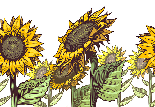 Sunflowers seamless border. Yellow wildflower sun shaped and leaves, floral cute print repeating sunflower decor textile vector texture