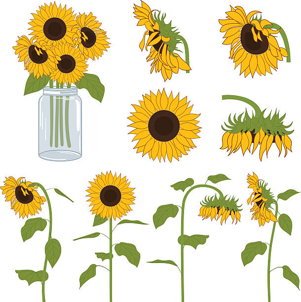 Royalty Free Sunflower Clip Art, Vector Images ...