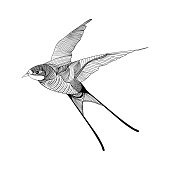 Swallow. Hand Drawn vector illustration.