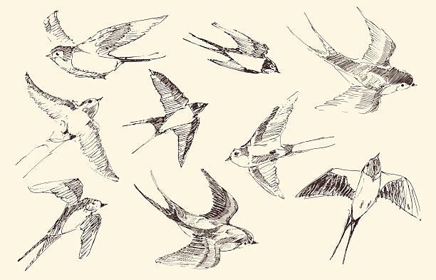 Swallows Flying Bird Vector, Hand Drawn, Sketch Swallows flying bird set vintage illustration, engraved retro style, hand drawn, sketch bird drawings stock illustrations