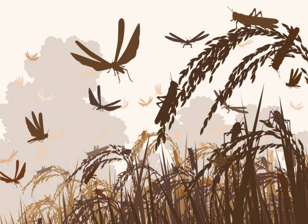 Swarming locusts Vector illustration of a swarm of locusts attacking rice plants and threatening food security swarm of insects stock illustrations