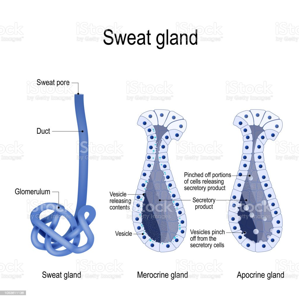 Sweat Gland Merocrine And Apocrine Different Of Manner Of Secretion