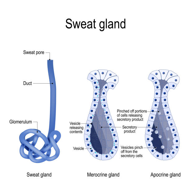 sweat gland. Merocrine and apocrine. different of manner of secretion. sweat gland. Merocrine and apocrine. different of manner of secretion. cross-section of the human skin, with the sweat gland. Vector diagram for educational, medical, biological and science use exocrine gland stock illustrations