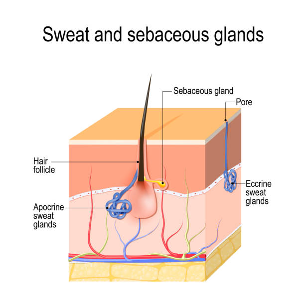 Sweat glands (apocrine, eccrine) and sebaceous gland. Cross section of the Human skin with hair follicle, blood vessels and glands. Sweat glands (apocrine, eccrine) and sebaceous gland. Cross section of the Human skin with hair follicle, blood vessels and glands. Vector diagram for educational, medical, biological, and scientific use human gland stock illustrations