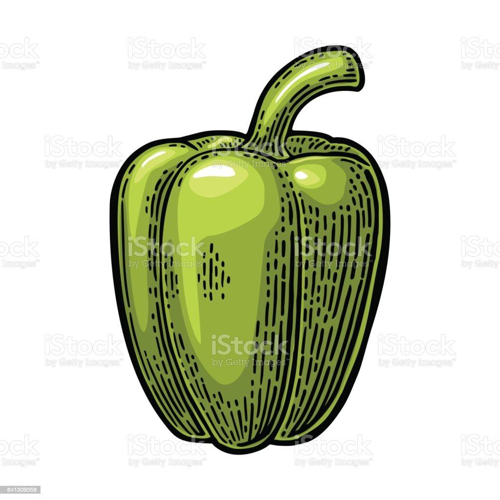 Sweet bell green pepper. Vector vintage engraved illustration vector art illustration