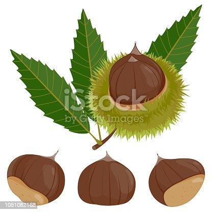 istock Sweet chestnut plant and fruit 1051082168
