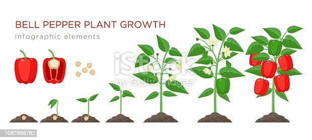 Sweet pepper plant growth stages infographic elements in flat design. Planting process of bell pepper from seeds, sprout to ripe vegetable, plant life cycle vector illustration isolated on white background.