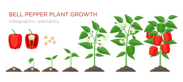 ilustrações de stock, clip art, desenhos animados e ícones de sweet pepper plant growth stages infographic elements in flat design. planting process of bell pepper from seeds, sprout to ripe vegetable, plant life cycle isolated illustration on white background - red bell pepper isolated