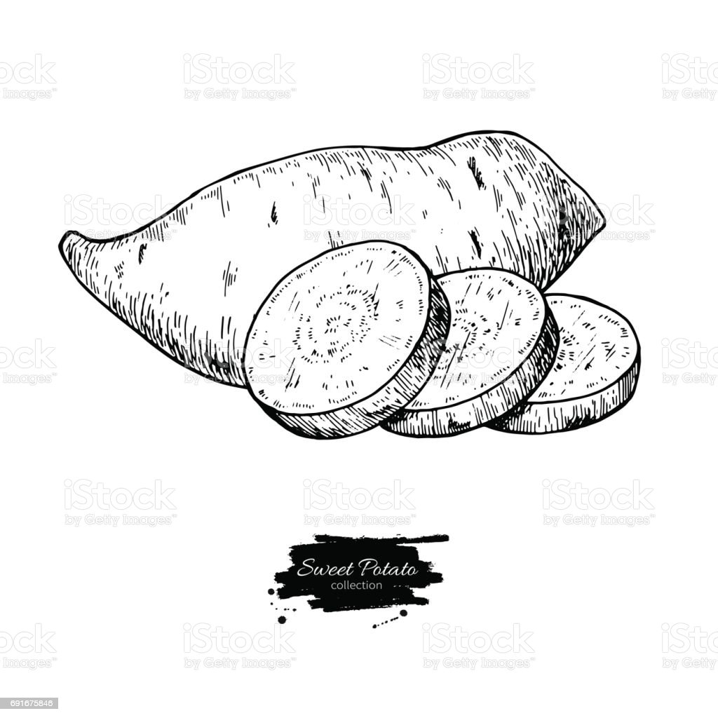 Sweet potato hand drawn vector illustration. Isolated Vegetable engraved style object. vector art illustration