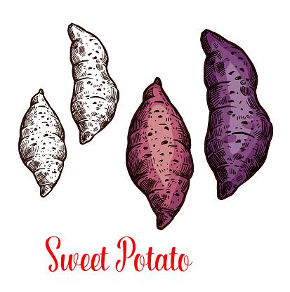 Sweet potato, yam, batata sketch of root vegetable