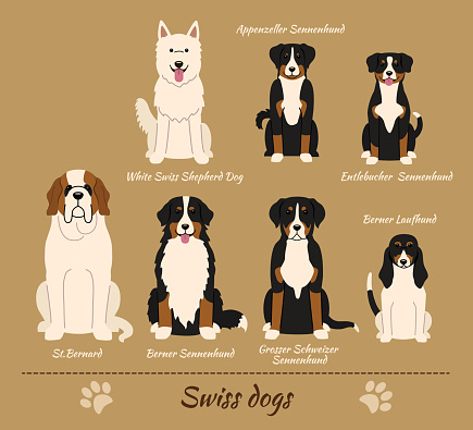 Swiss breed of dogs