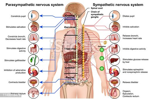 sympathetic and parasympathetic nervous system 3d medical vector illustration on white background eps 10