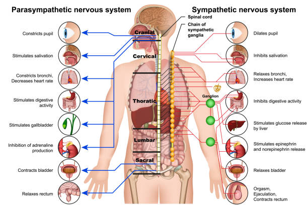 sympathetic and parasympathetic nervous system 3d medical vector illustration on white background sympathetic and parasympathetic nervous system 3d medical vector illustration on white background eps 10 neurology stock illustrations