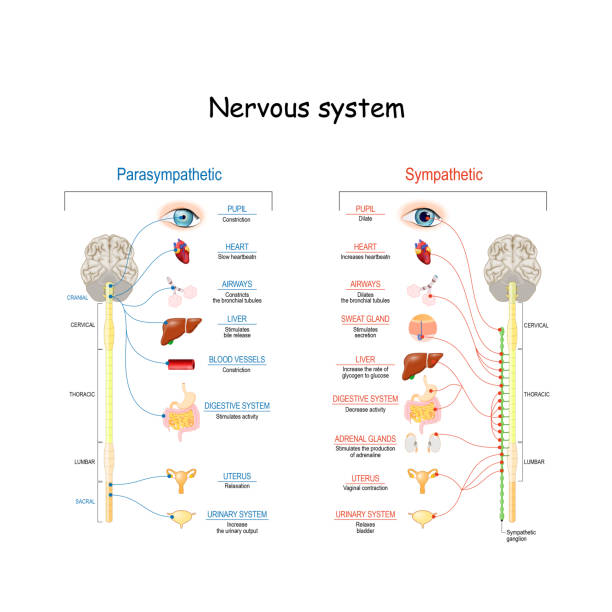 Sympathetic And Parasympathetic Nervous System Sympathetic And Parasympathetic Nervous System. Difference. diagram with connected inner organs and brain and spinal cord. Educational guide of human anatomy.  vector illustration for medical and science use brain stem stock illustrations