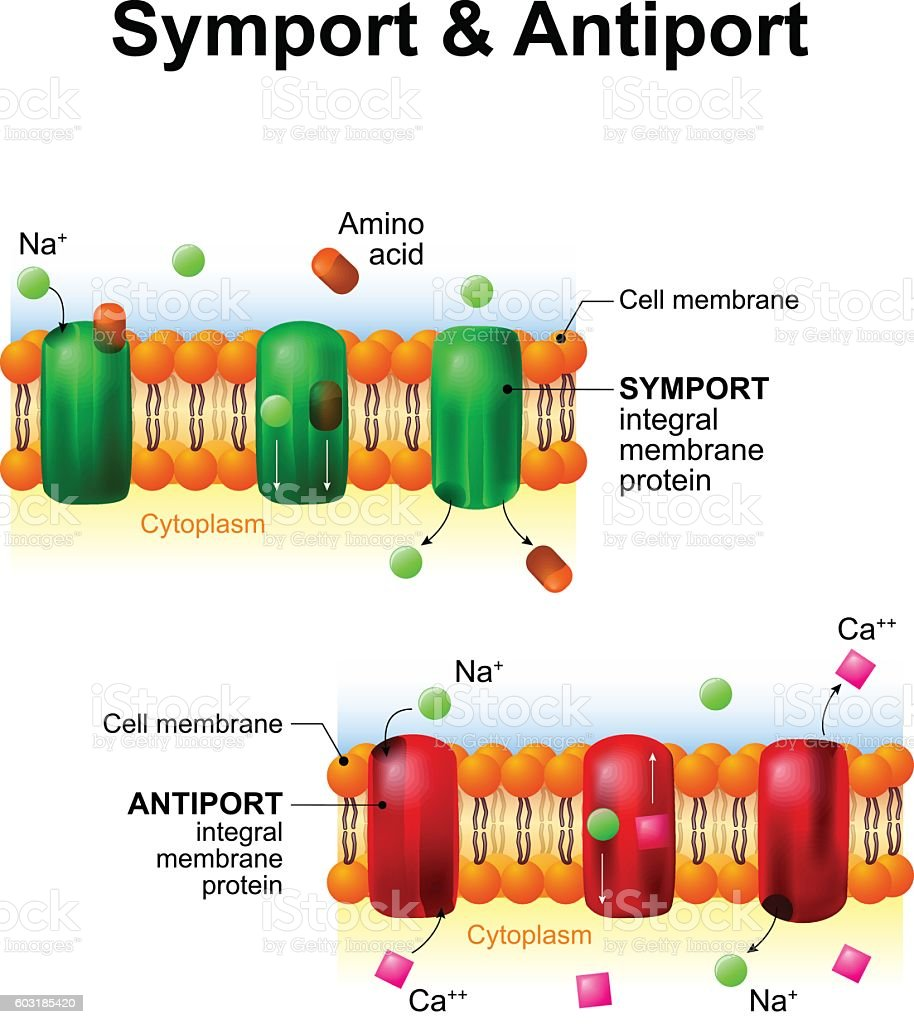 Symport and antiport. cell membrane transport systems vector art illustration