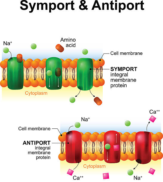 Symport and antiport. cell membrane transport systems Symport and antiport - are an integral membrane protein. cell membrane transport system. How it works amino acid stock illustrations