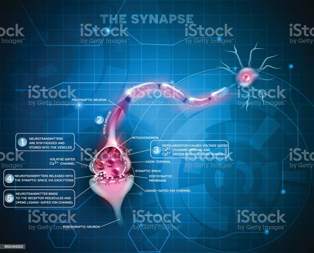 Synapse detailed anatomy vector art illustration