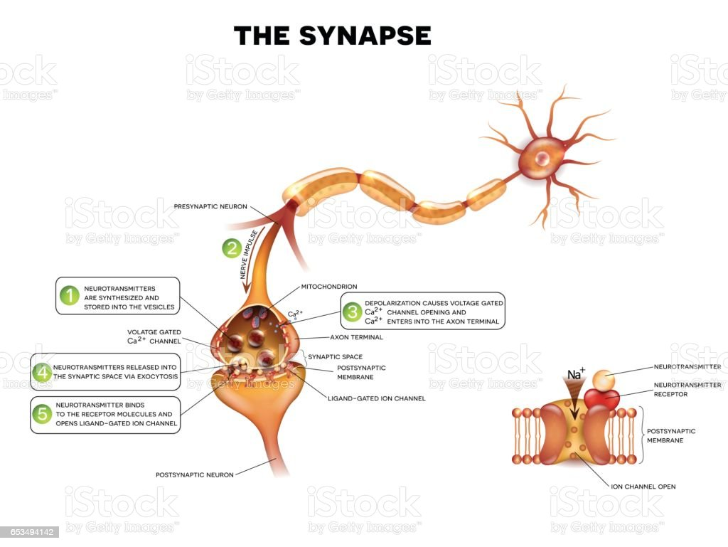 Synapse Detailed Anatomy Stock Vector Art More Images Of Anatomy