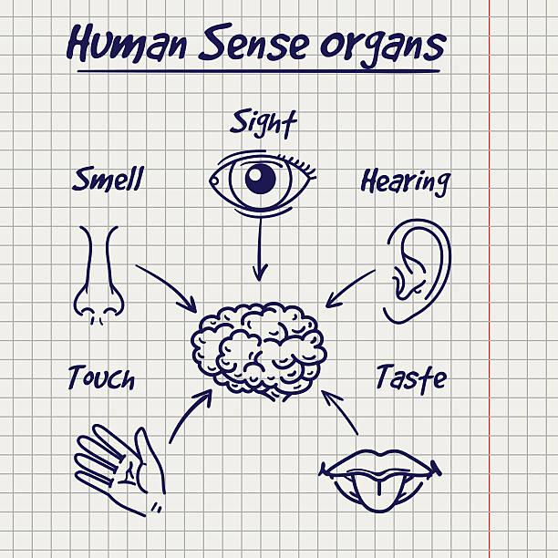 synopsis of human sense organs sketch - farbwahrnehmung stock-grafiken, -clipart, -cartoons und -symbole