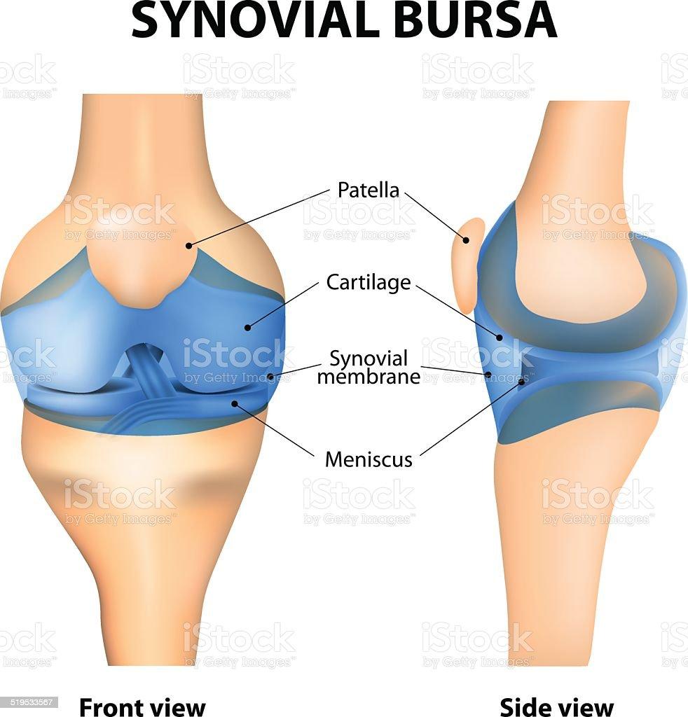 Synovial bursa vector art illustration