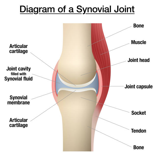 Synovial joint chart. Labeled anatomy infographic with two bones, articular cartilage, joint cavity, synovial fluid, muscle and tendon. Isolated vector illustration on white. vector art illustration
