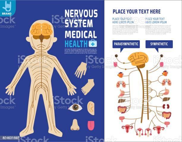 System nervous sympathetic system infographic element health care vector id824631592?b=1&k=6&m=824631592&s=612x612&h=s8epd4qfdkqhvidpqlynpdatrtstnulddmwhvsupiem=