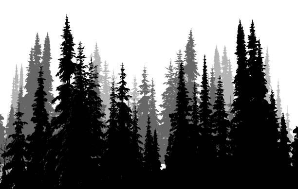 Tall Evergreen Forest Tall Evergreen Forest in a silhouette illustration in black and white pine tree stock illustrations
