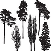 Beautiful tall tree silhouettes.