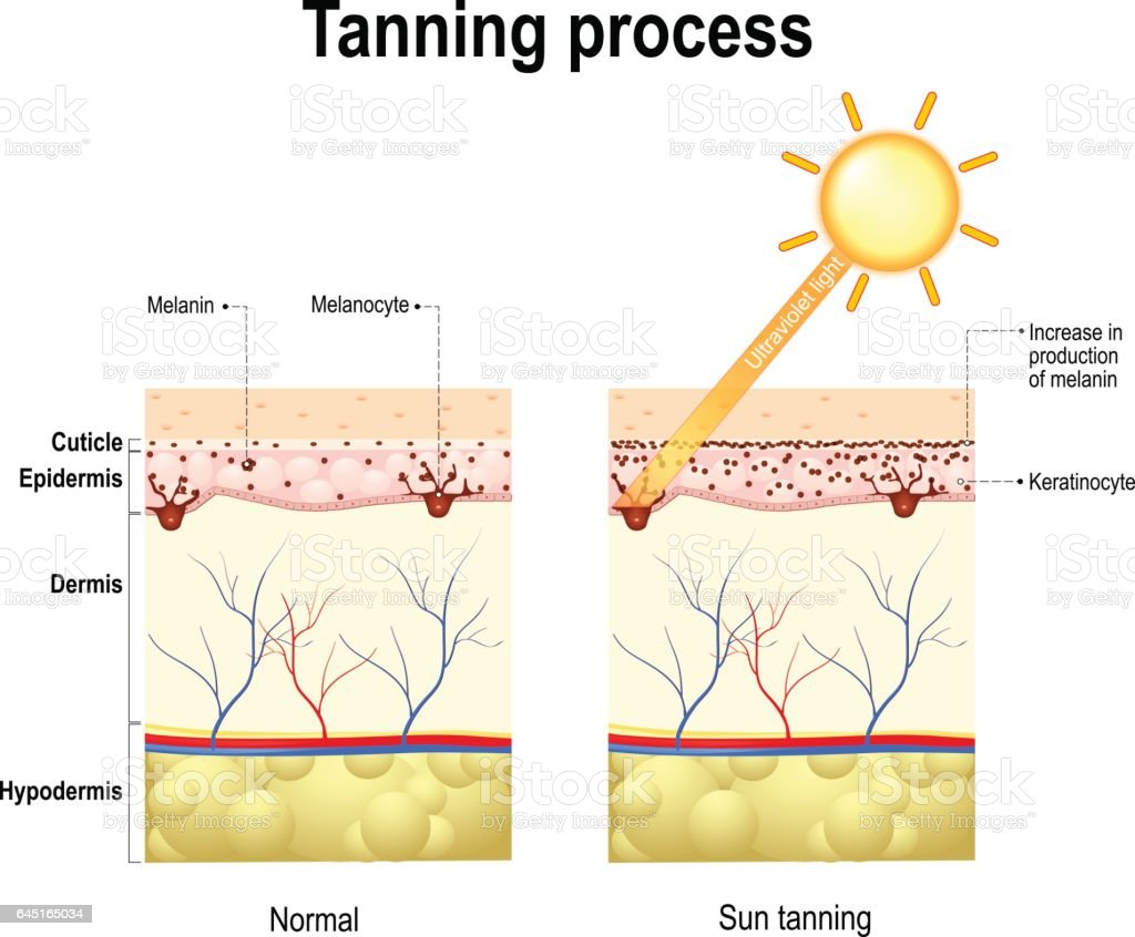 Tanning process. Skin. Human anatomy vector art illustration