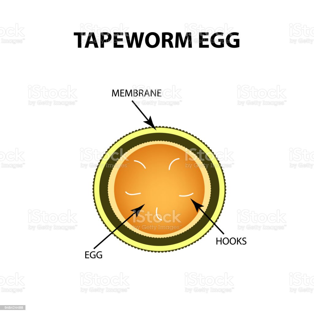 Tapeworm Egg Infographics Vector Illustration On Isolated Background ...