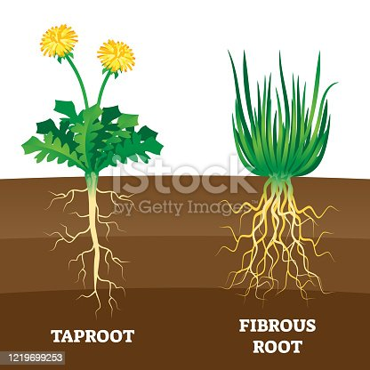 Taproot and fibrous root example comparison vector illustration scheme. Educational organic plant part description with main large central root and thin branching system. Biology explanation handout.