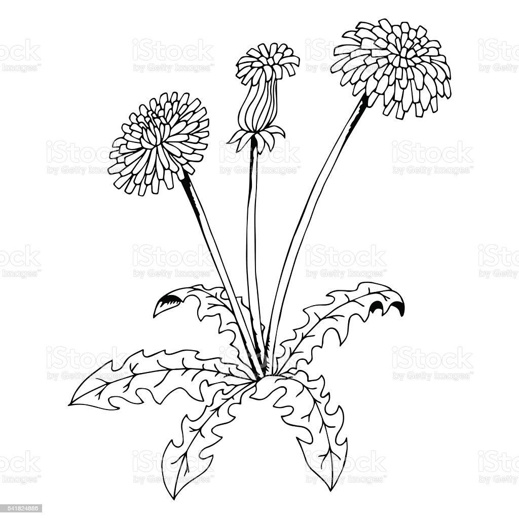 taraxacum dandelion flower graphic art black white isolated