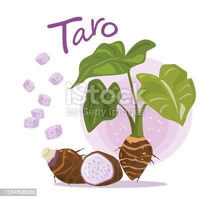 Taro Root Vector. Taro plant. fruit and slice of taro. typographic for header design. infographic for taro - vector illustration.