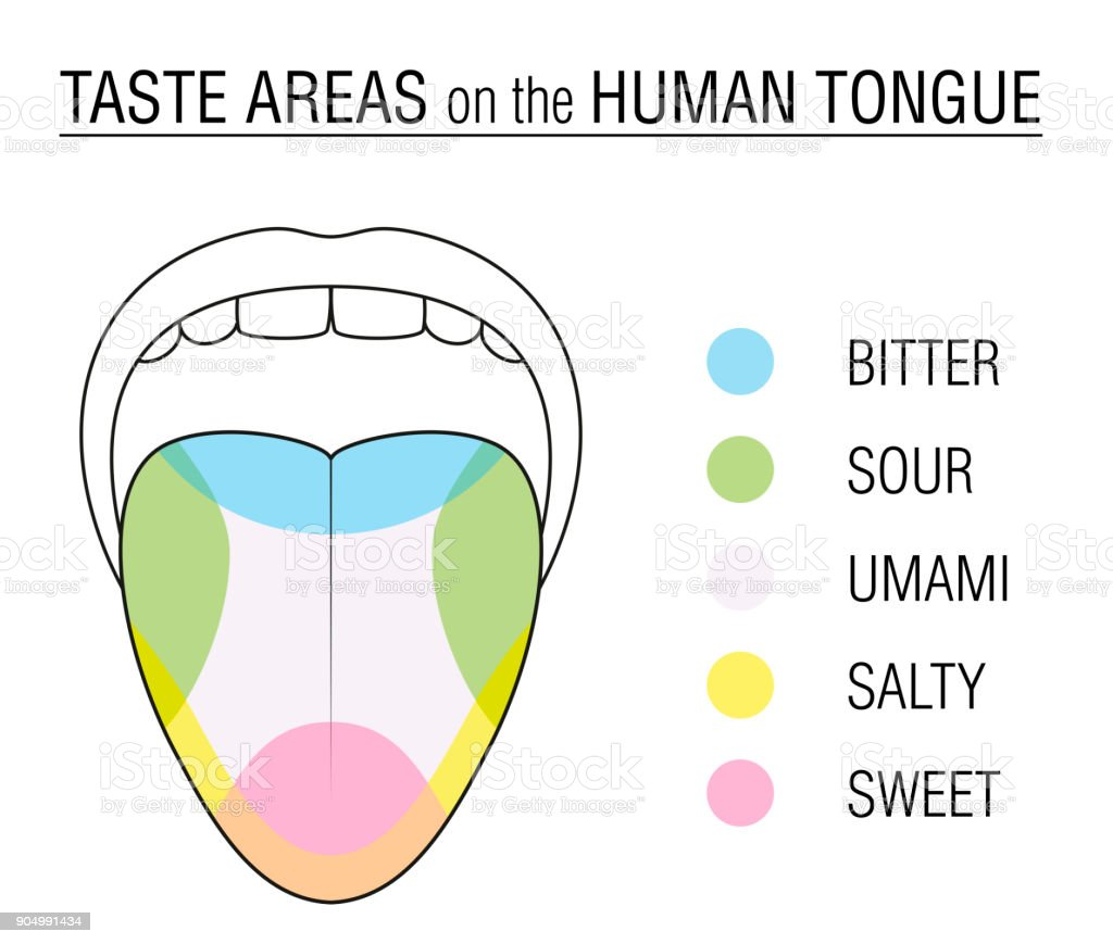 Taste Areas Of The Human Tongue Colored Division With Zones Of Taste