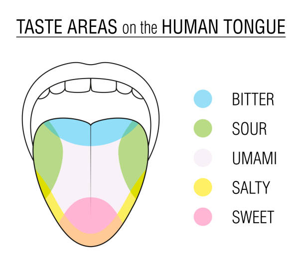 Taste areas of the human tongue - colored division with zones of taste buds for bitter, sour, sweet, salty and umami perception - educational, schematic vector illustration on white background. Taste areas of the human tongue - colored division with zones of taste buds for bitter, sour, sweet, salty and umami perception - educational, schematic vector illustration on white background. salt seasoning stock illustrations