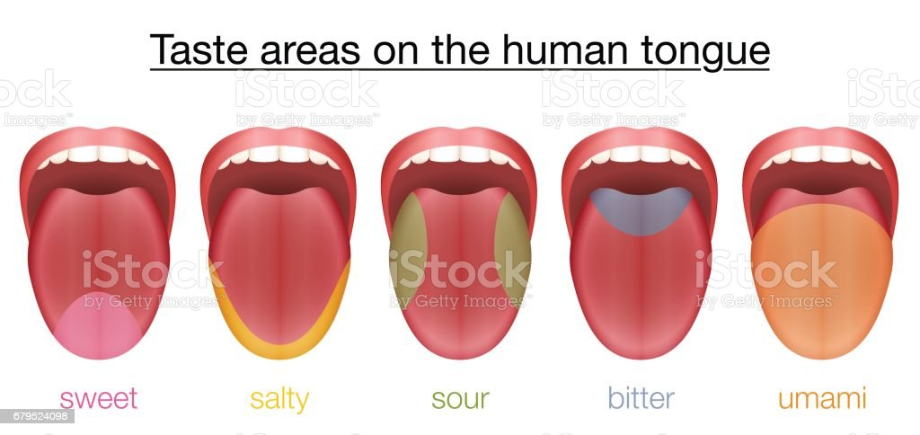Diagram Of The Human Tongue Taste Buds - Custom Wiring Diagram •