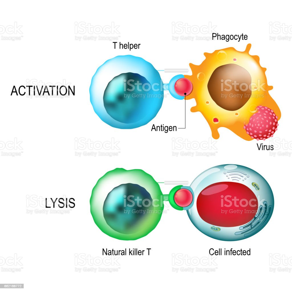 T-cell. Activation and lysis of the leukocytes. vector art illustration