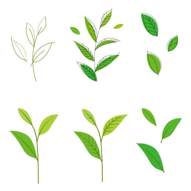illustrazioni stock, clip art, cartoni animati e icone di tendenza di tea leaf - camellia sinensis