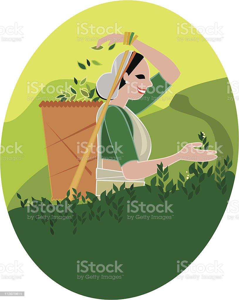 Tea picker from Sri Lanka royalty-free stock vector art