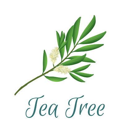 Tea tree branch with flowers and leaves. Malaleuca or tea tree design composition. Vector illustration for use in web design, print or other visual area
