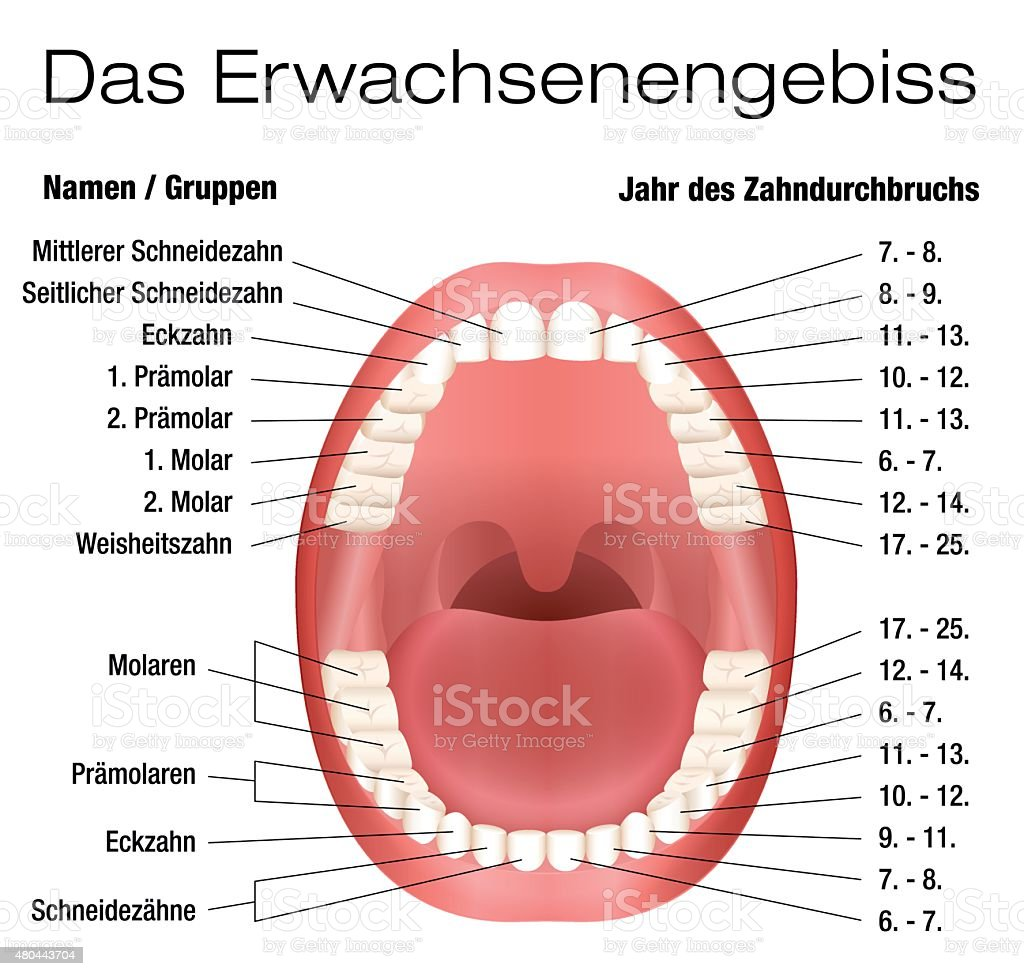Teeth names eruption chart german stock vector art more images of teeth names eruption chart german royalty free teeth names eruption chart german stock vector art geenschuldenfo Image collections