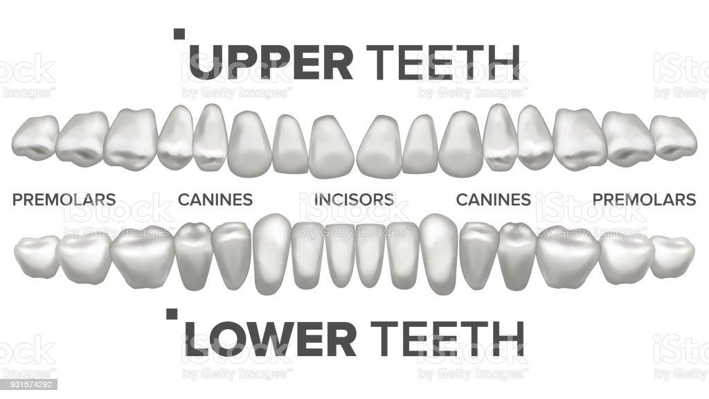 3d Zähne Set Vector Oberen Und Unteren Zähne Zahngesundheit ...