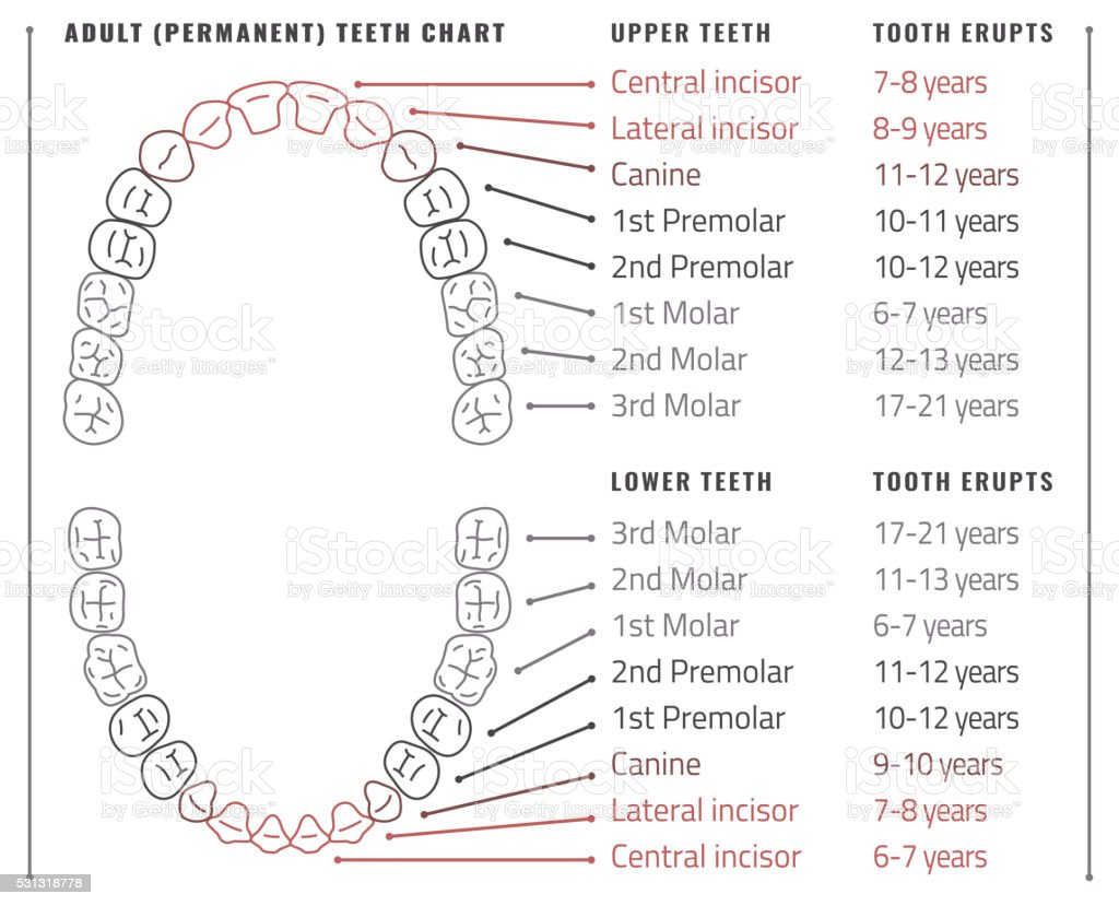 Teeth Vector Infographic Stock Vector Art & More Images of Anatomy ...