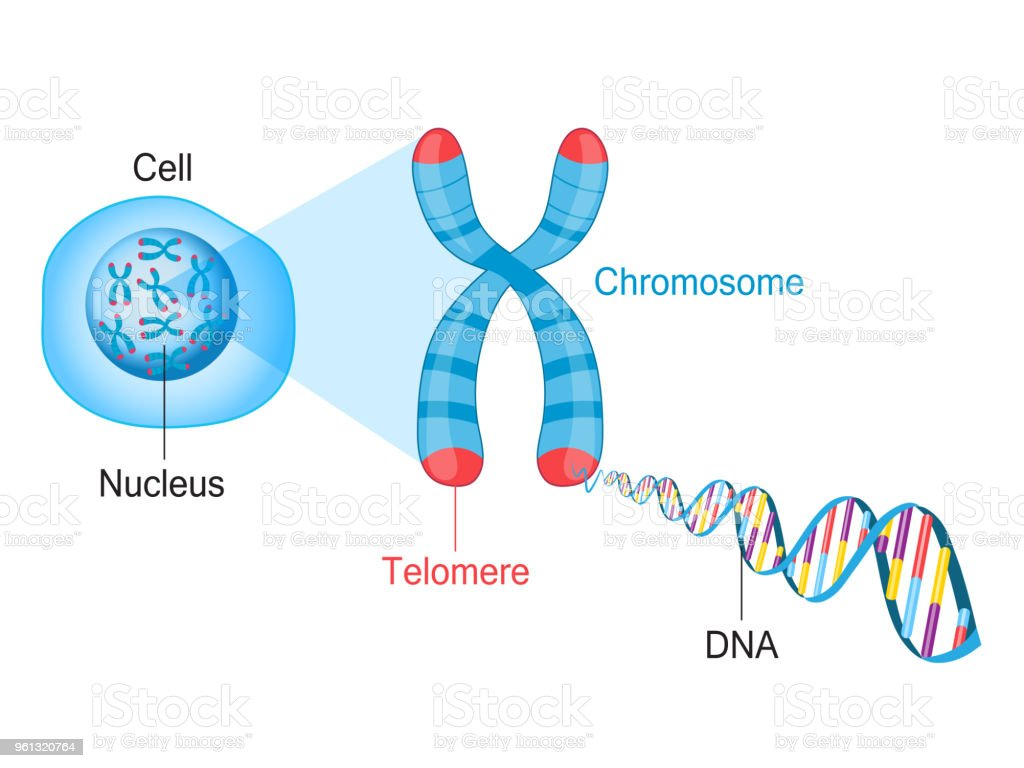 Telomere Chromosome and DNA vector art illustration