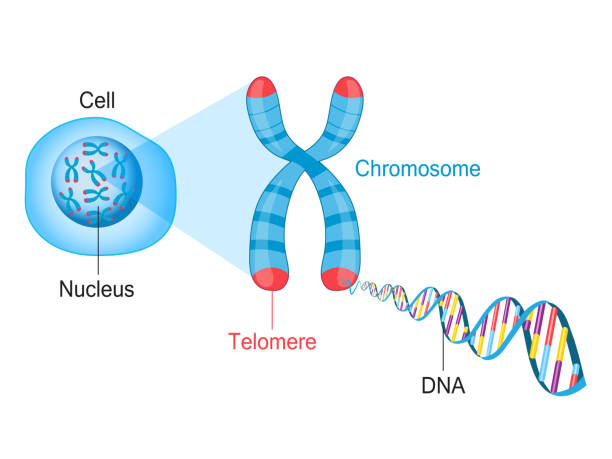 Telomere Chromosome and DNA Telomeres are protective caps on the end of chromosomes. Cell, chromosome and DNA vector illustration chromosome stock illustrations