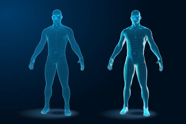 Temlate set of Human Body 3D Polygonal Wireframe Blueprint. Vector Illustration Temlate set of Human Body 3D Polygonal Wireframe Blueprint. human representation stock illustrations