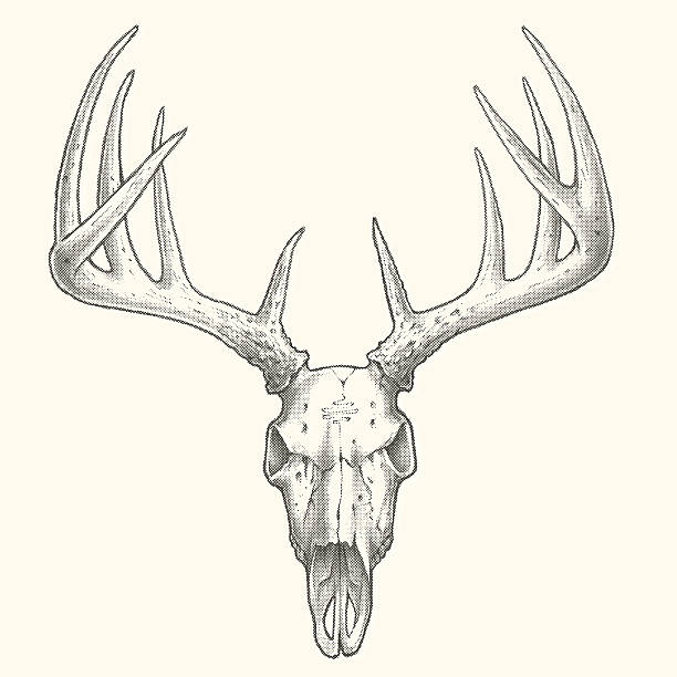 ten point deer skull - deer antlers stock illustrations, clip art, cartoons, & icons