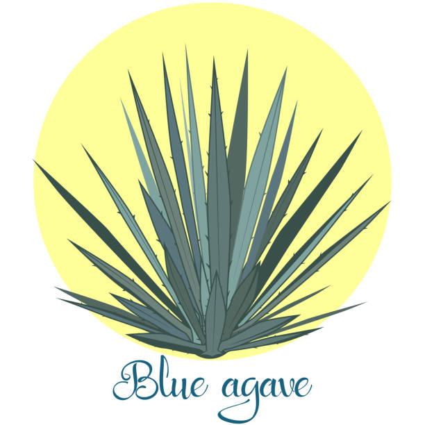 Ilustración de vector de Tequila agave o azul agave - ilustración de arte vectorial