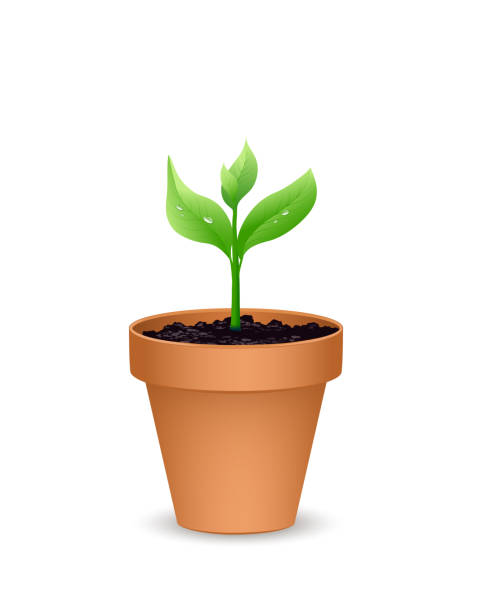 Terra cotta Flower pot with the soil and young plant, Vector illustration isolated on white background Terra cotta Flower pot with the soil and young plant, Vector illustration isolated on white background potting stock illustrations